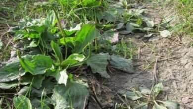 Photo of Weeds? Know the type of soil through spontaneous herbs