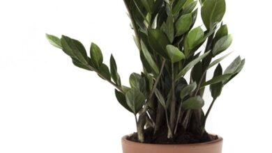 Photo of Zamioculcas yellow leaves
